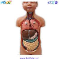 تصویر آناتومی آموزشی نیم تنه انسان 8 قطعه مدل ANAT KALA